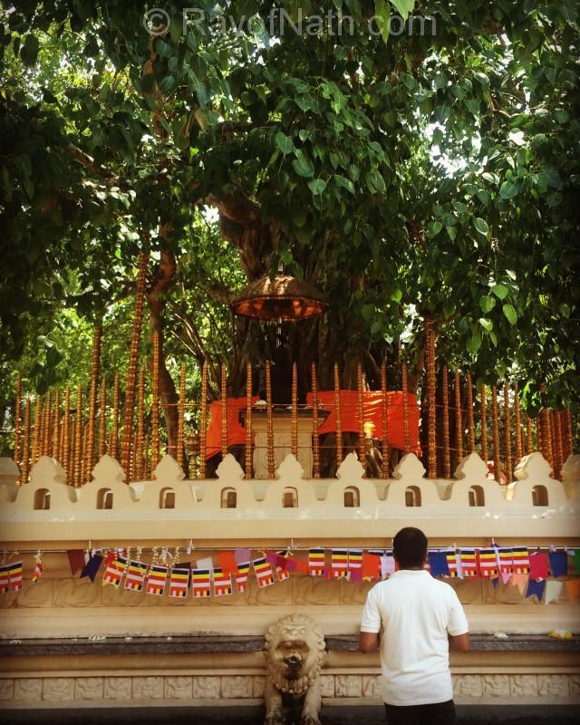 Arbre sacré dans un temple bouddhiste