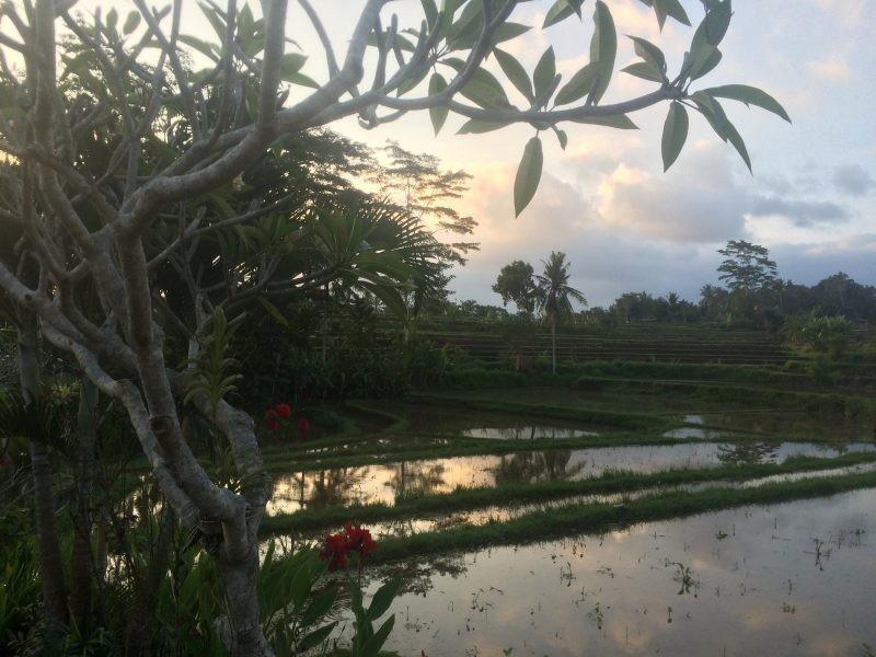 Champs de riz à Ubud, Bali