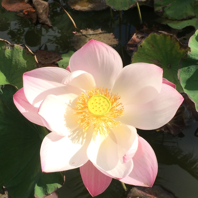 Lotus: signe de l'impermanence