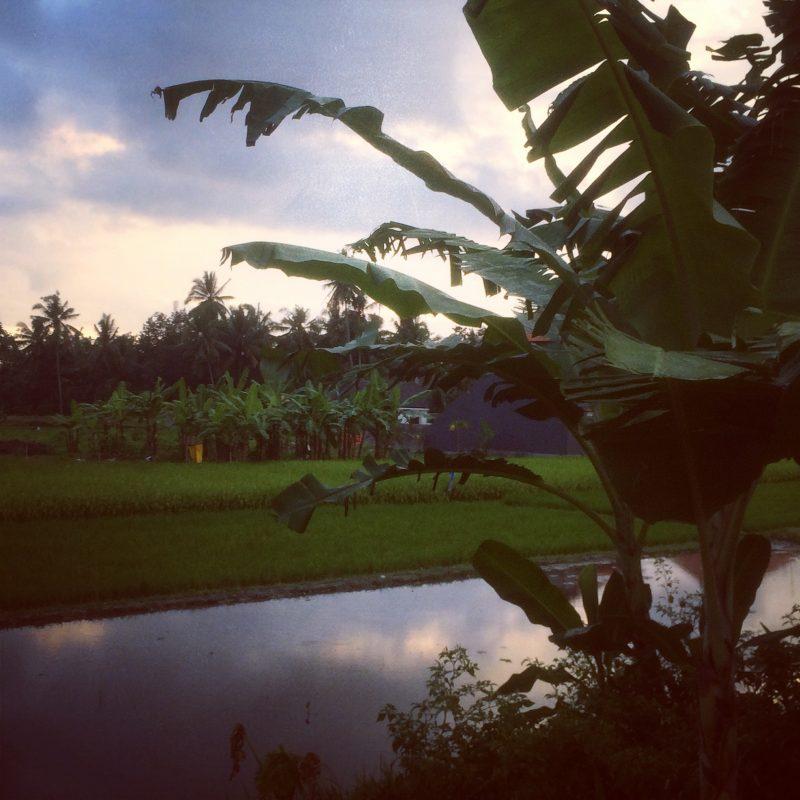 Champs de riz à la tombée du jour, Bali